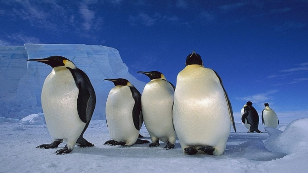 4-big-penguins-ice-animal-wallpaper.jpg