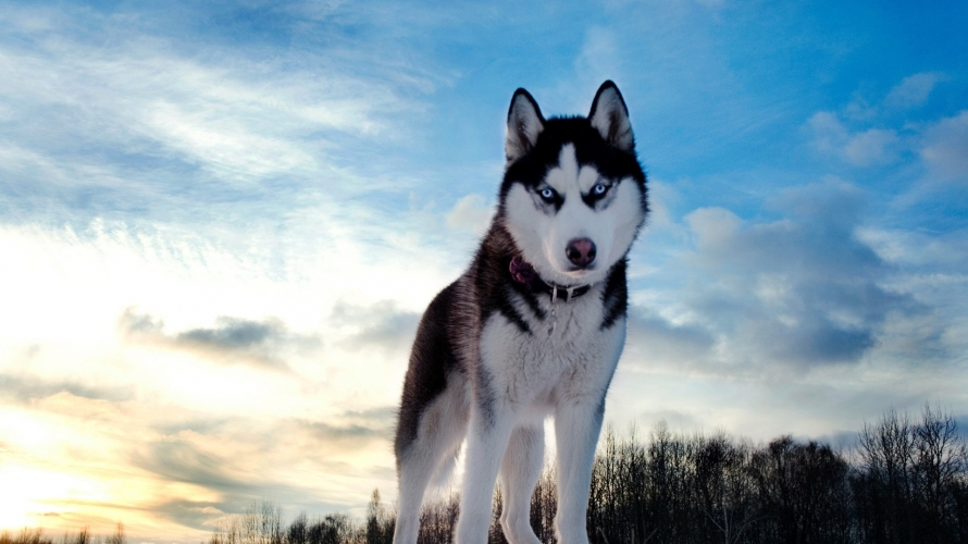 950921_Beautiful_Husky.jpg