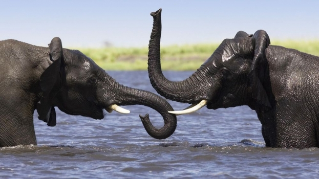 African_Elephant_Pair_Playing_in_the_Chobe_River_Botswana.jpg