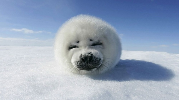 Baby_Seal_(Canadian_seal).jpg