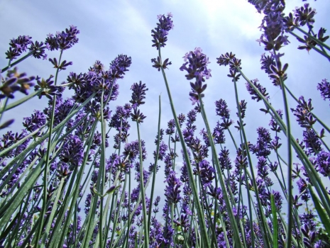 Lavanda_muralesyvinilos_3494001__Monthly_XL.jpg
