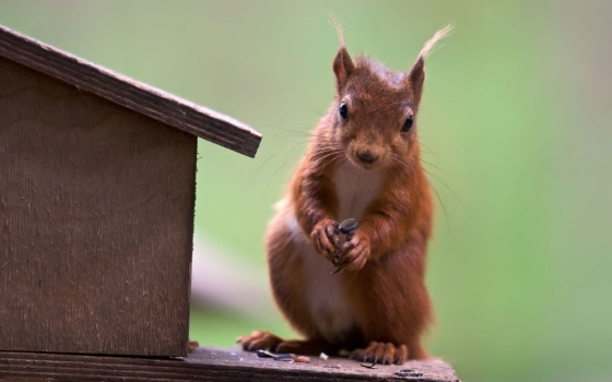 cute-red-squirrel.jpg