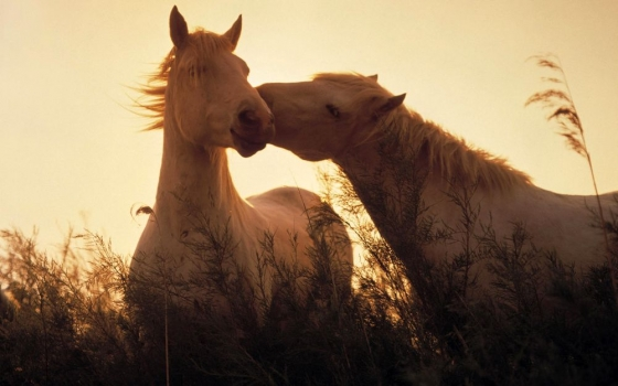 horses-in-love-wallpaper-1920x1200-0914.jpg