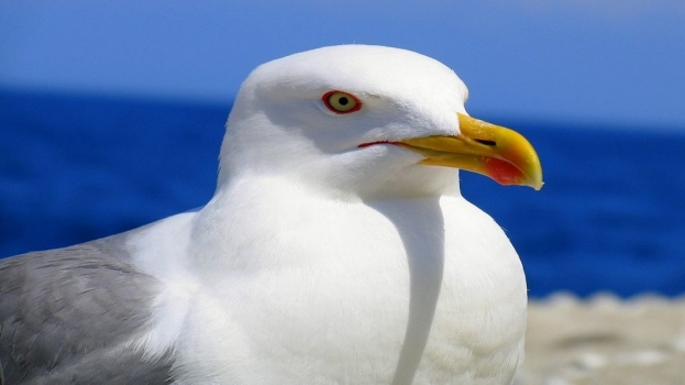 larus-bird-animal-wallpaper.jpg