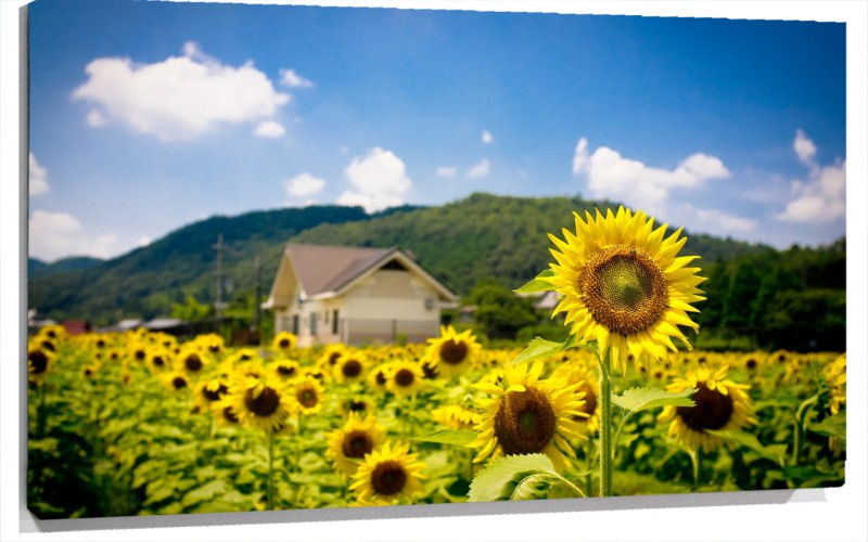 950538_Sunflower_Field.jpg