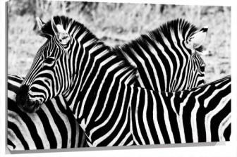 Lienzo cebras