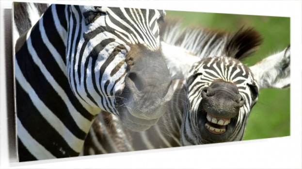 Zebras_(African_Animals_Wallpaper).jpg