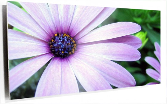 purple_aster-wide.jpg
