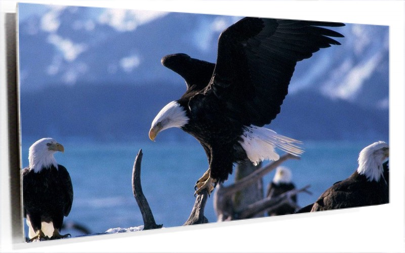 951029_Aguilas_Americanas.jpg