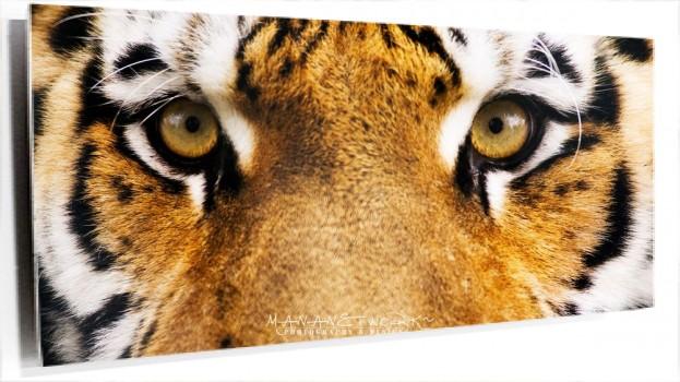 Siberian-Tiger_1920x1080.jpg