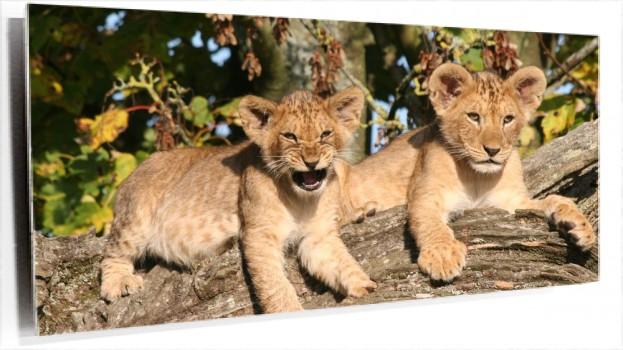 lioncubs-1920x1080.jpg