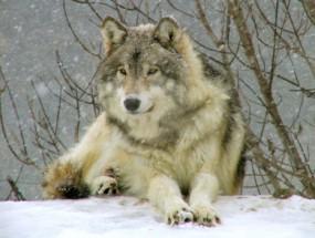 Murales Lobo en la nieve