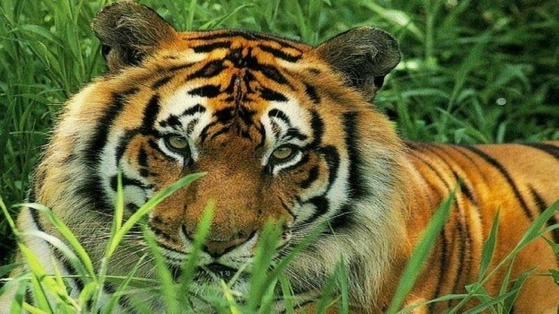 tiger-grass-animal-kingdom.jpg